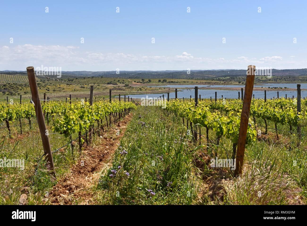 vineyards of Herdade do Esporao, Restaurant and Wine Estate, Reguengos de Monsaraz, Alentejo region, Portugal, southwertern Europe. Stock Photo