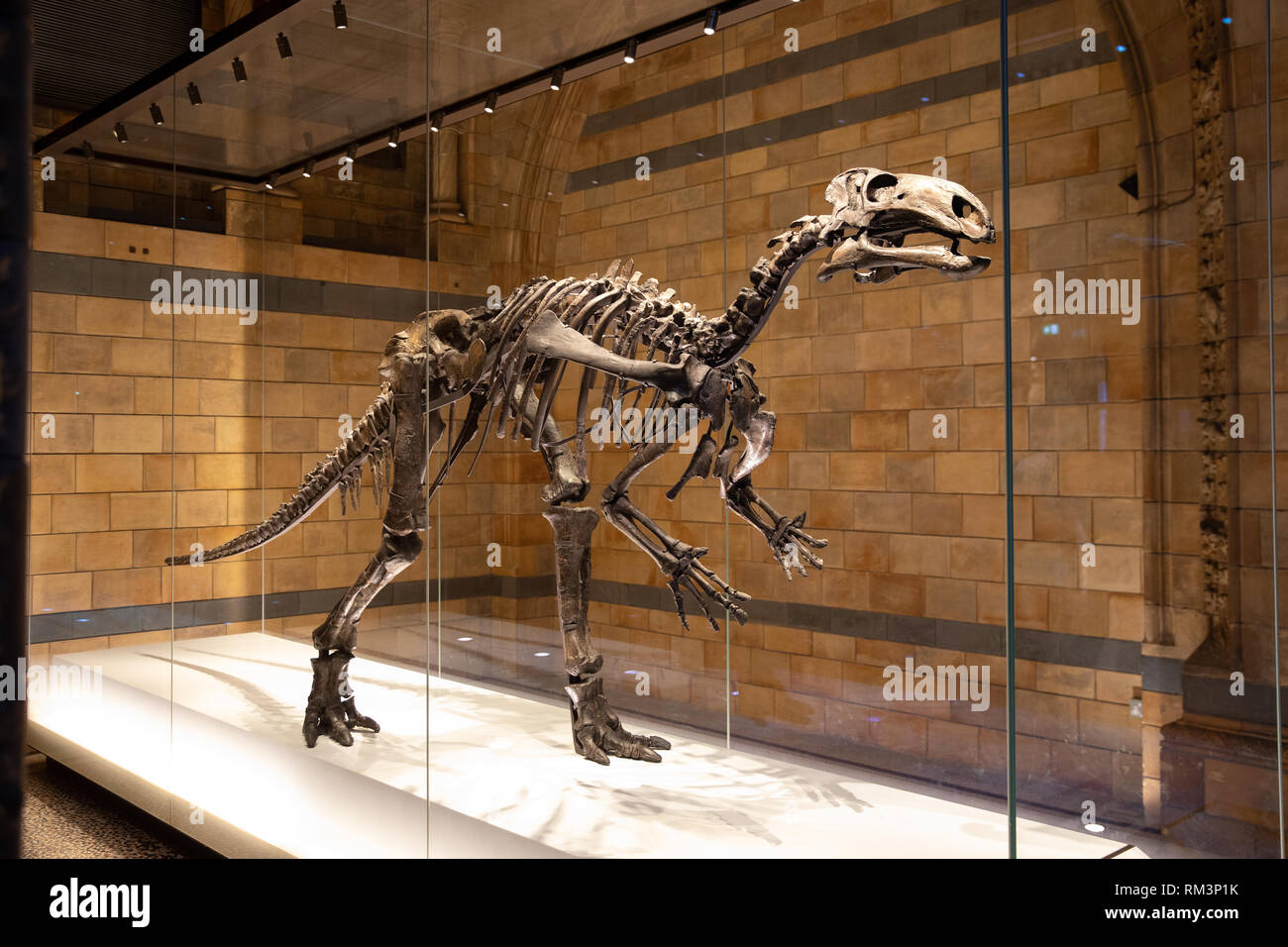 A fossil dinosaur skeleton in The Natural History Museum, London, Uk - Stock Image