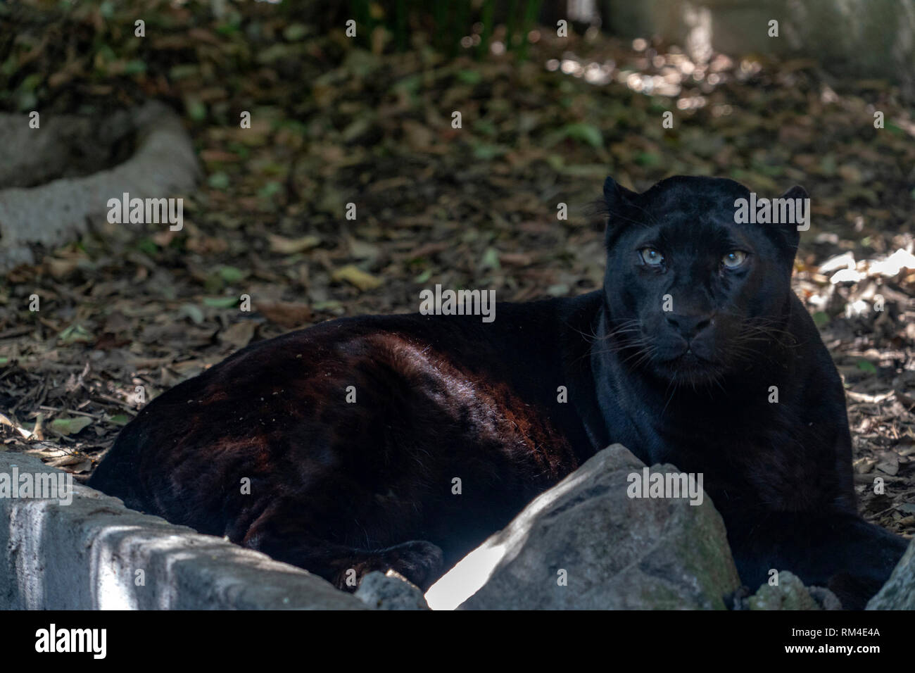 Black Jaguar Eyes High Resolution Stock Photography And Images Alamy
