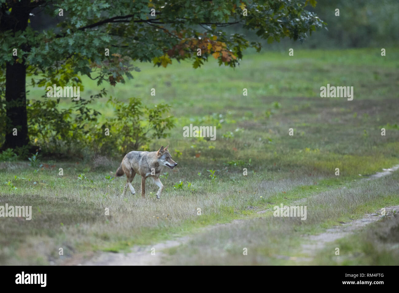 wolf (canis lupus) on a dirt road, soegel, lower saxony, germany Stock Photo