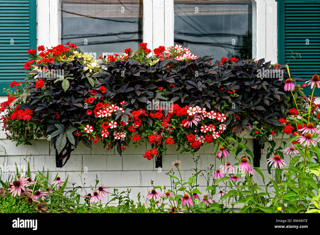 Purple sweet potoato vine along with petunias and verbena growing in a olorful window box. - Stock Image