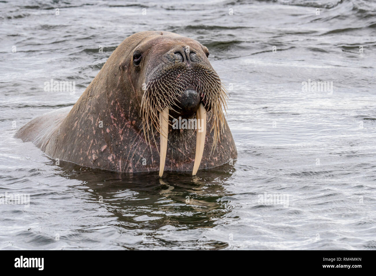 Atlantic walrus (Odobenus rosmarus rosmarus). This large, gregarious relative of the seal has tusks that can reach a metre in length. Both the male (b - Stock Image