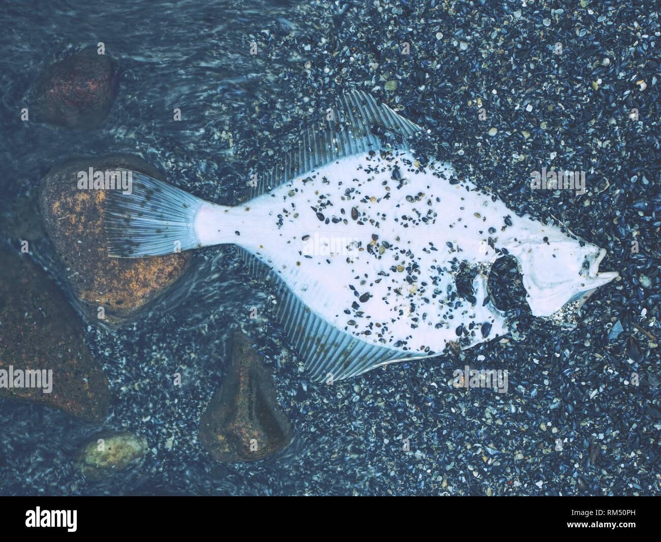 Dead flounder or flatfish is lying in the sand on the Baltic Sea - Stock Image