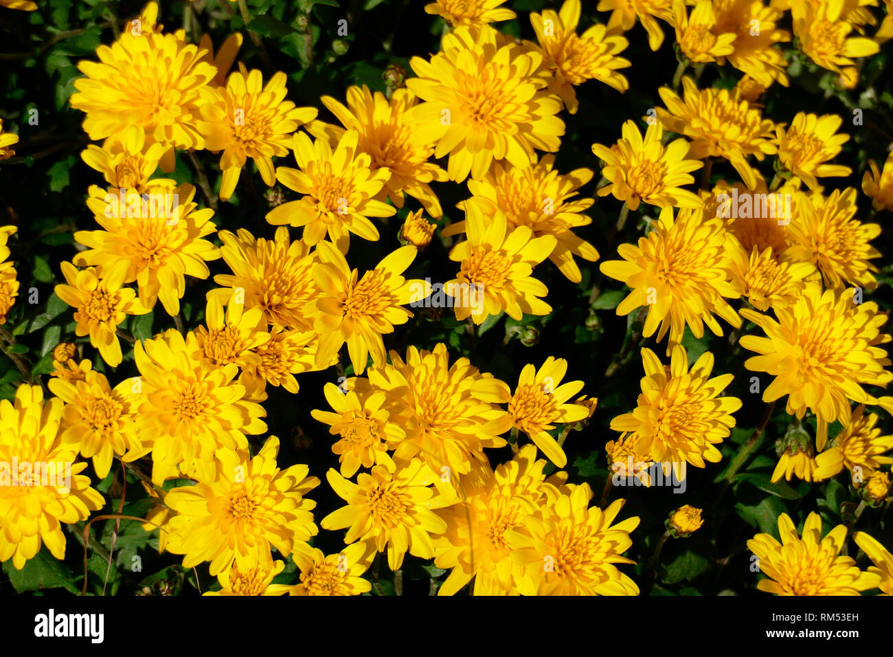 Yellow dahlia, close-up, background picture Stock Photo