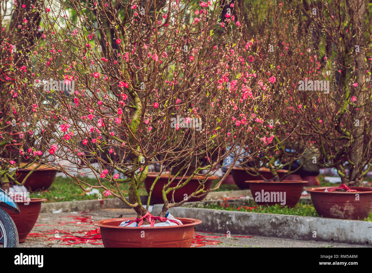 pink blooming trees in honor of the Vietnamese new year. Lunar new year flower market. Chinese New Year. Tet - Stock Image