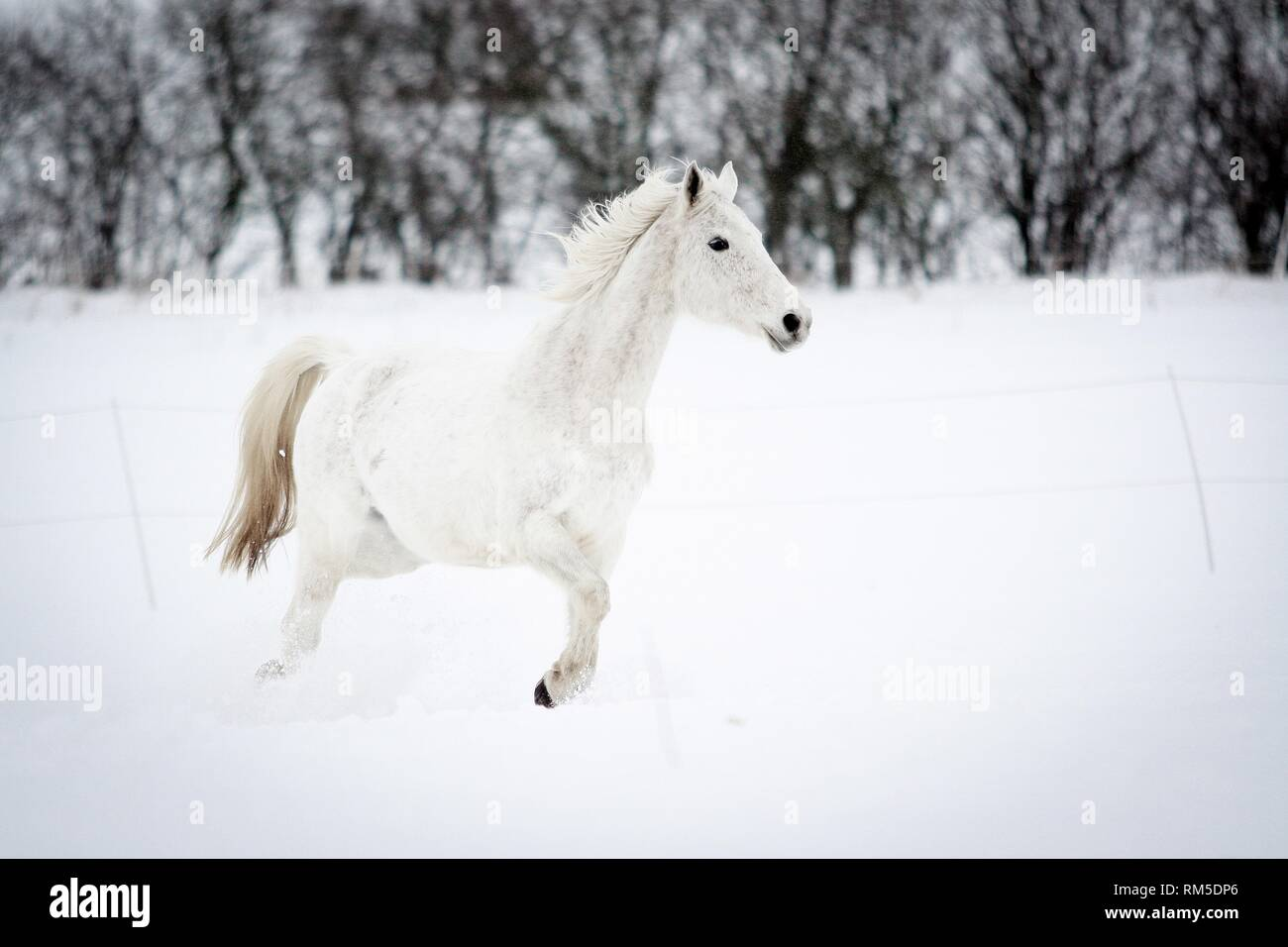 Arabian Horse In Snow Stock Photo Alamy