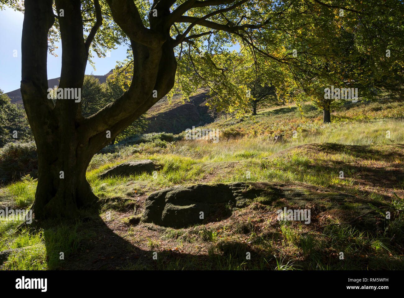 Mature Beech tree in the hills near Dove Stone reservoir, Greenfield, Peak District, England. Stock Photo