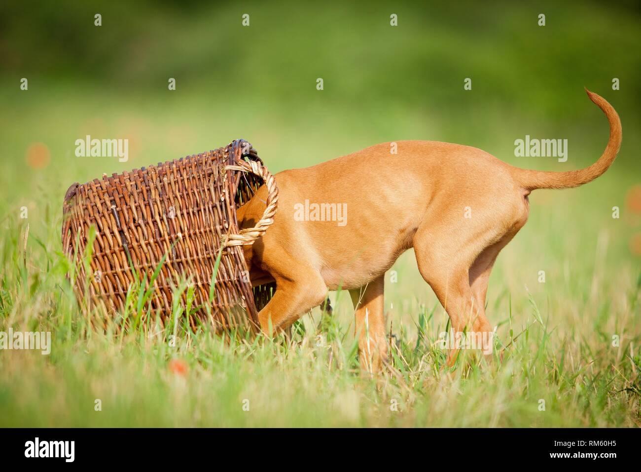 Magyar Vizsla Puppy - Stock Image
