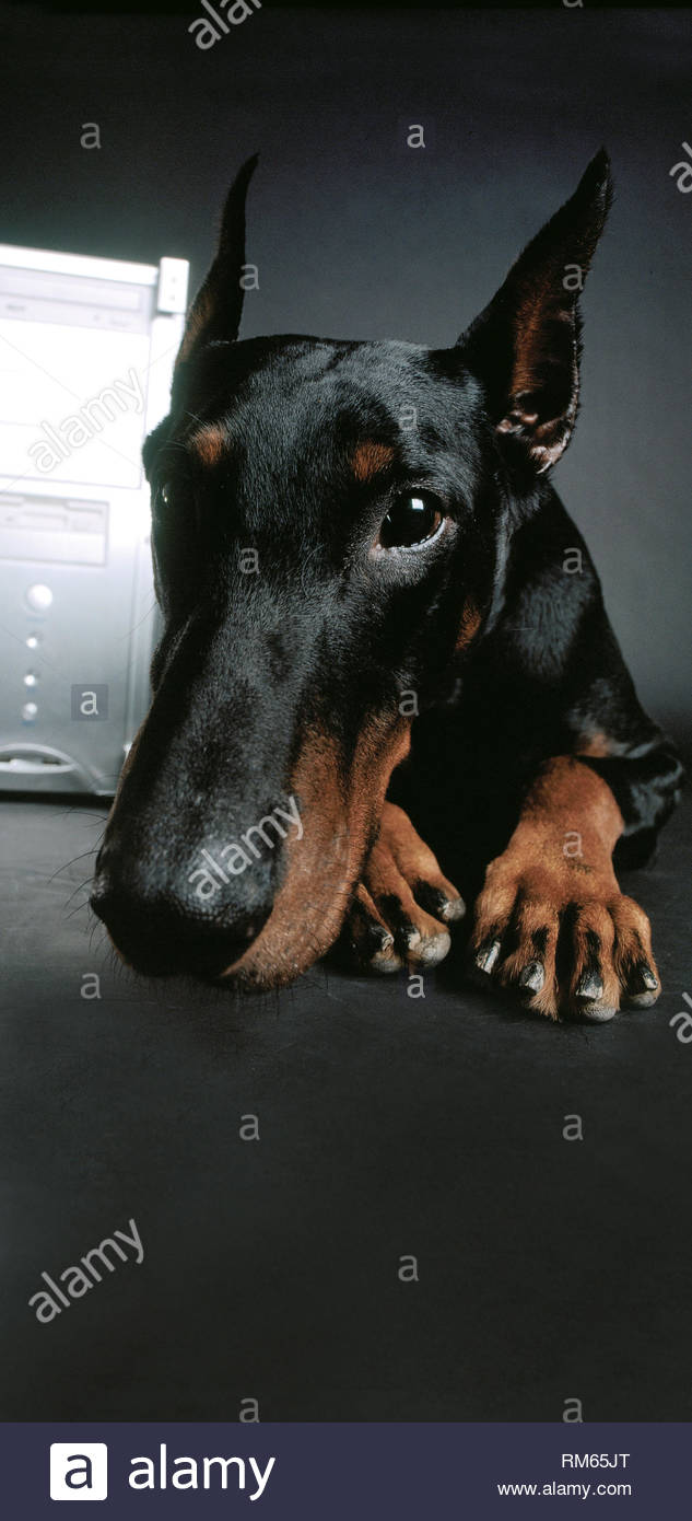 Dog doberman in front of computer - Stock Image