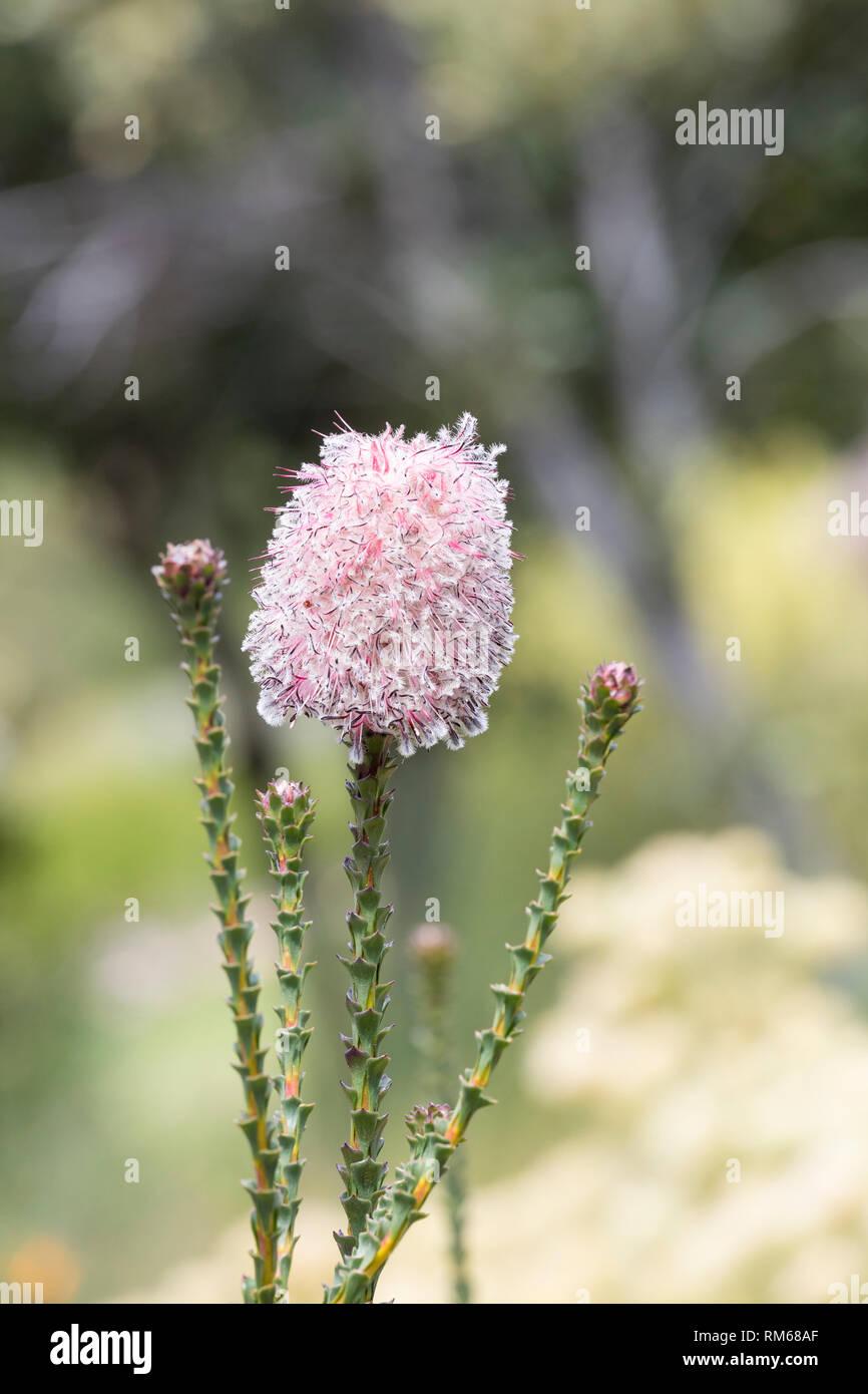 Rare Woolly sceptre, Paranomus longicaulis, flower. Endemic Red listed vulnerable Langeberg fynbos plant. Kirstenbosch, Western Cape, South Africa - Stock Image