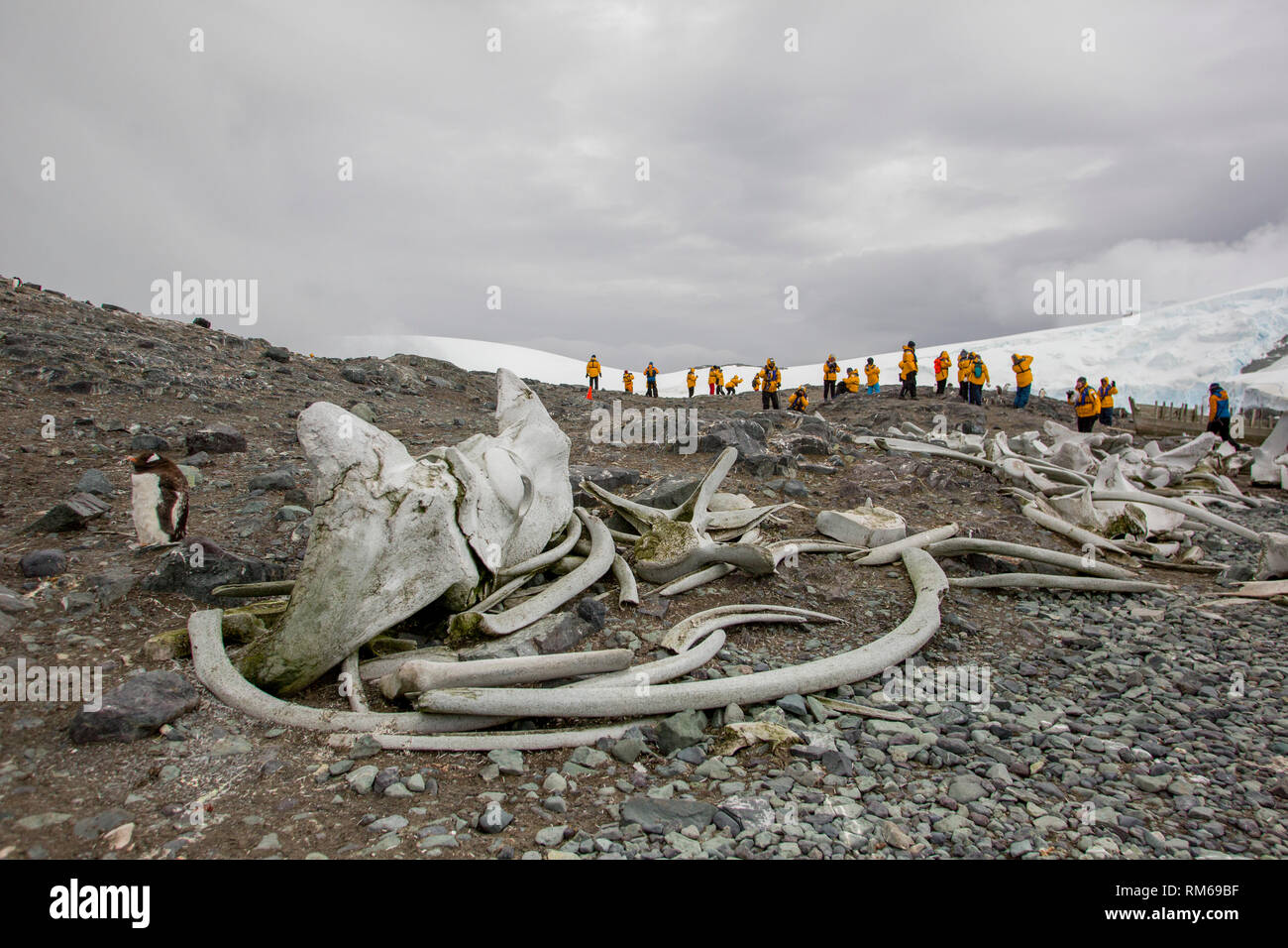 Skeletons of slaughtered whales over the last century. Photographed in Antarctica - Stock Image