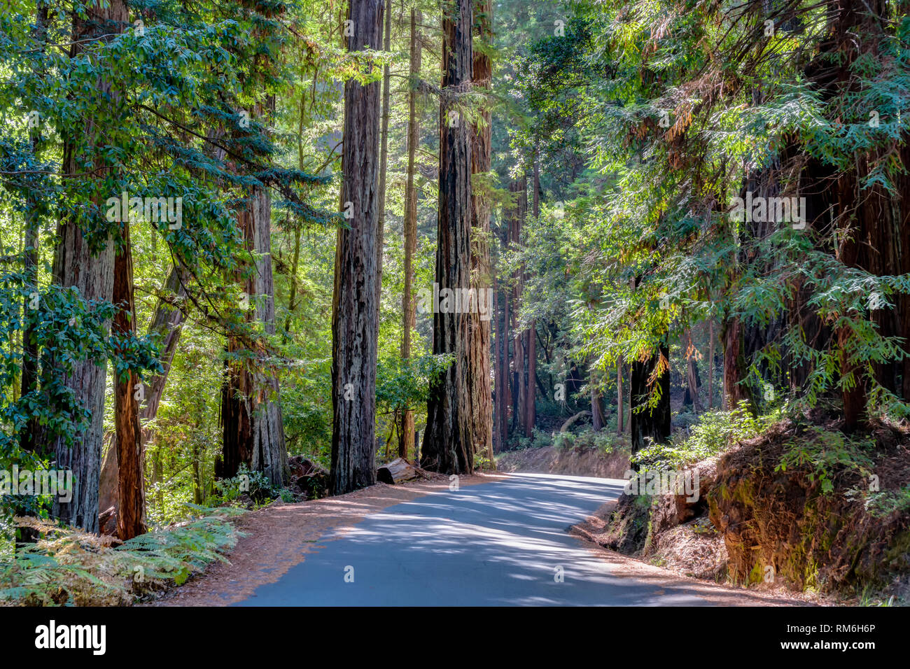 Towering redwood sequoia trees at, Big Basin Redwoods State Park. Stock Photo