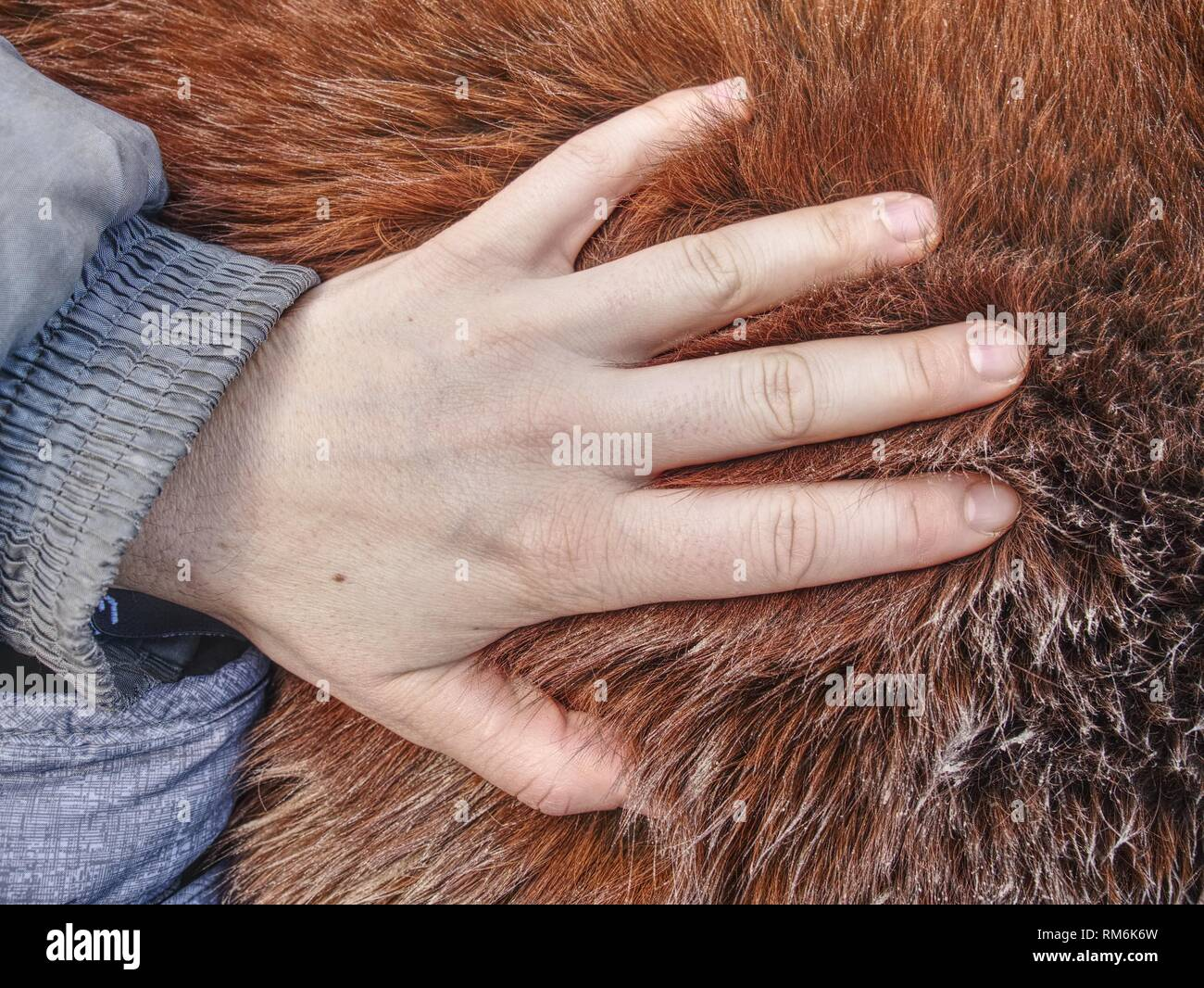 Hand in horse thick warm leather, warm winter fur on body of outside live horse. - Stock Image
