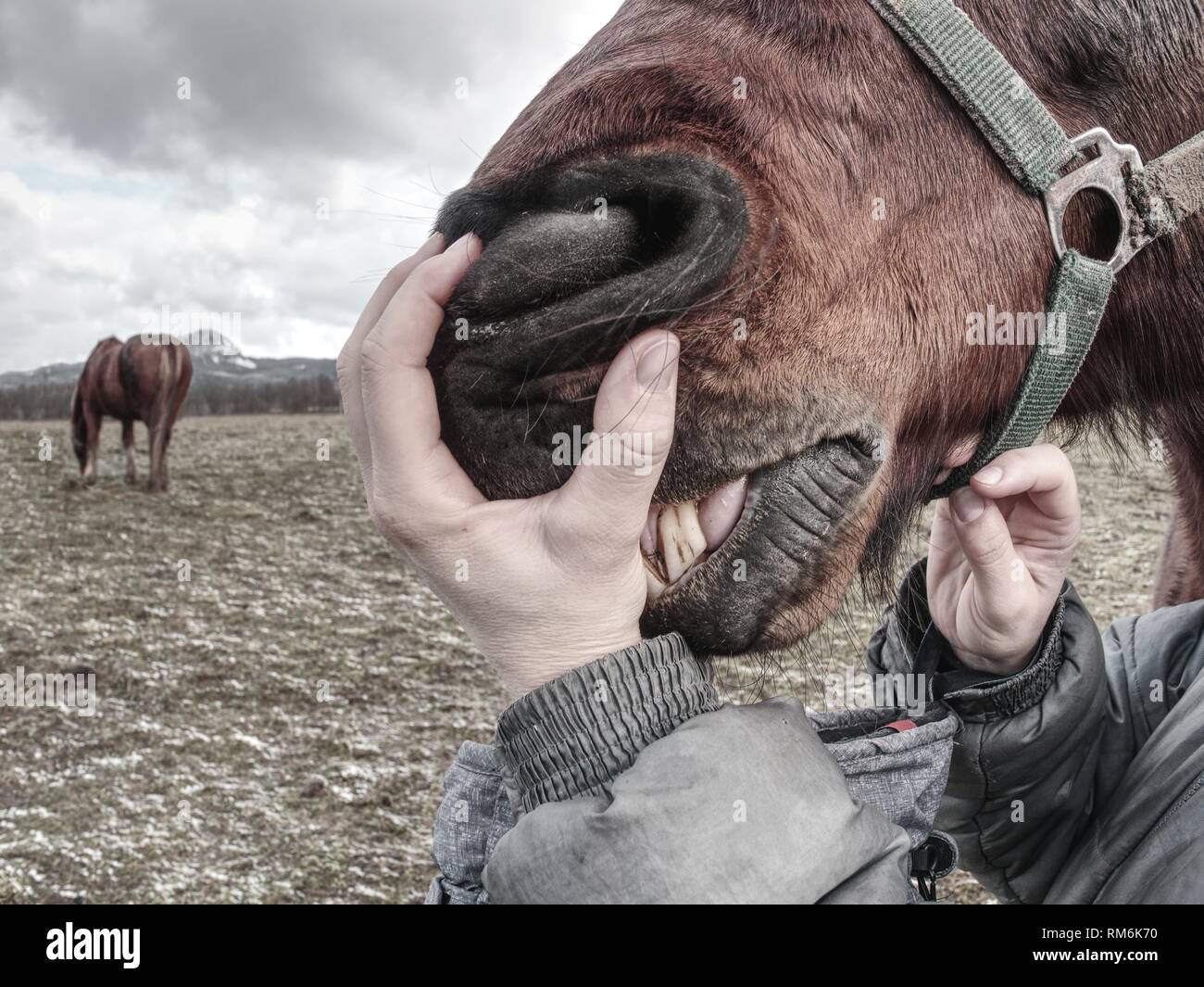 Inspecting horse teeth and health outside. Brown horse head in woman hand. Calm horse baring its teeth. - Stock Image