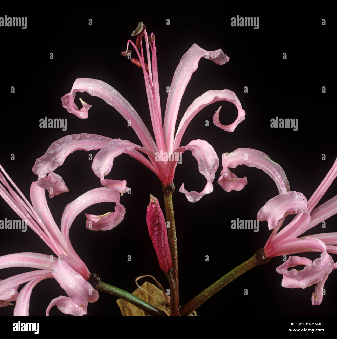 Pink Guernsey lily, Cornish, lily, Cape flower or bowden lily, Nerine bowdenii, pink flowers of ornamenal bulbous herbaceous plant Stock Photo