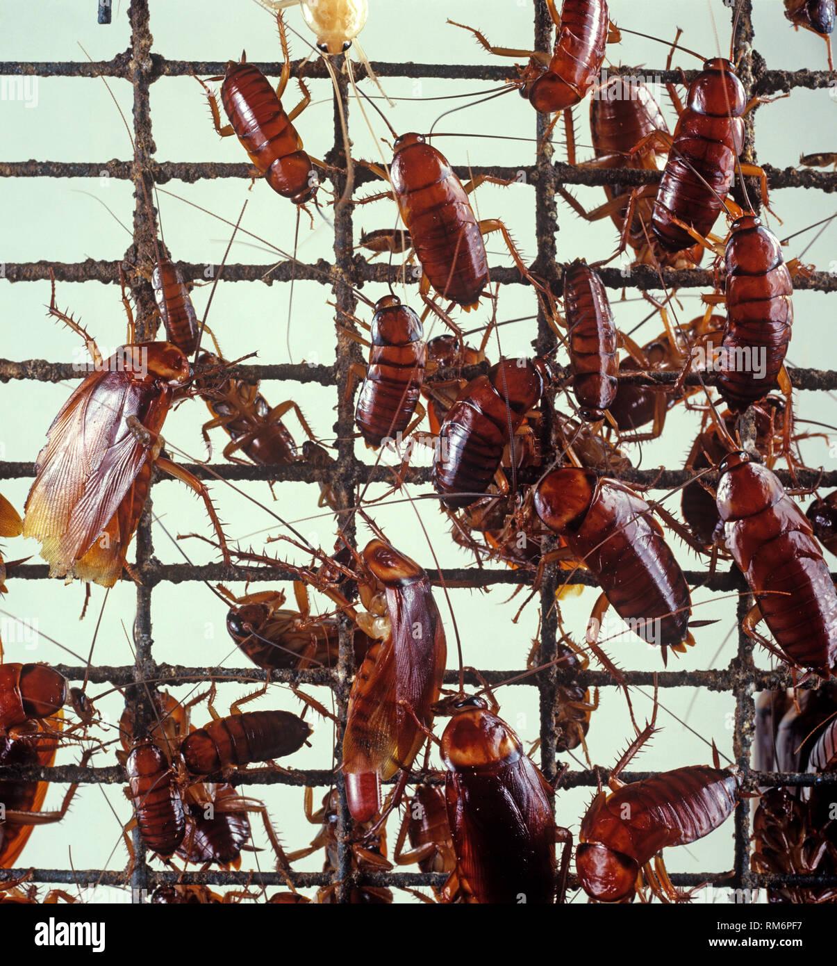 American cockroach (Periplaneta americana) a kitchen hygiene pest on wire mesh - Stock Image