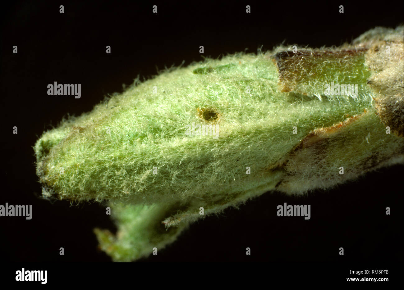 Damage to apple leaf bud by a young winter moth, Operophtera brumata, caterpillar as it develops - Stock Image
