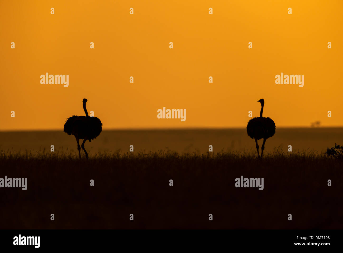 Ostrich with orange sky seen at Masai Mara Stock Photo