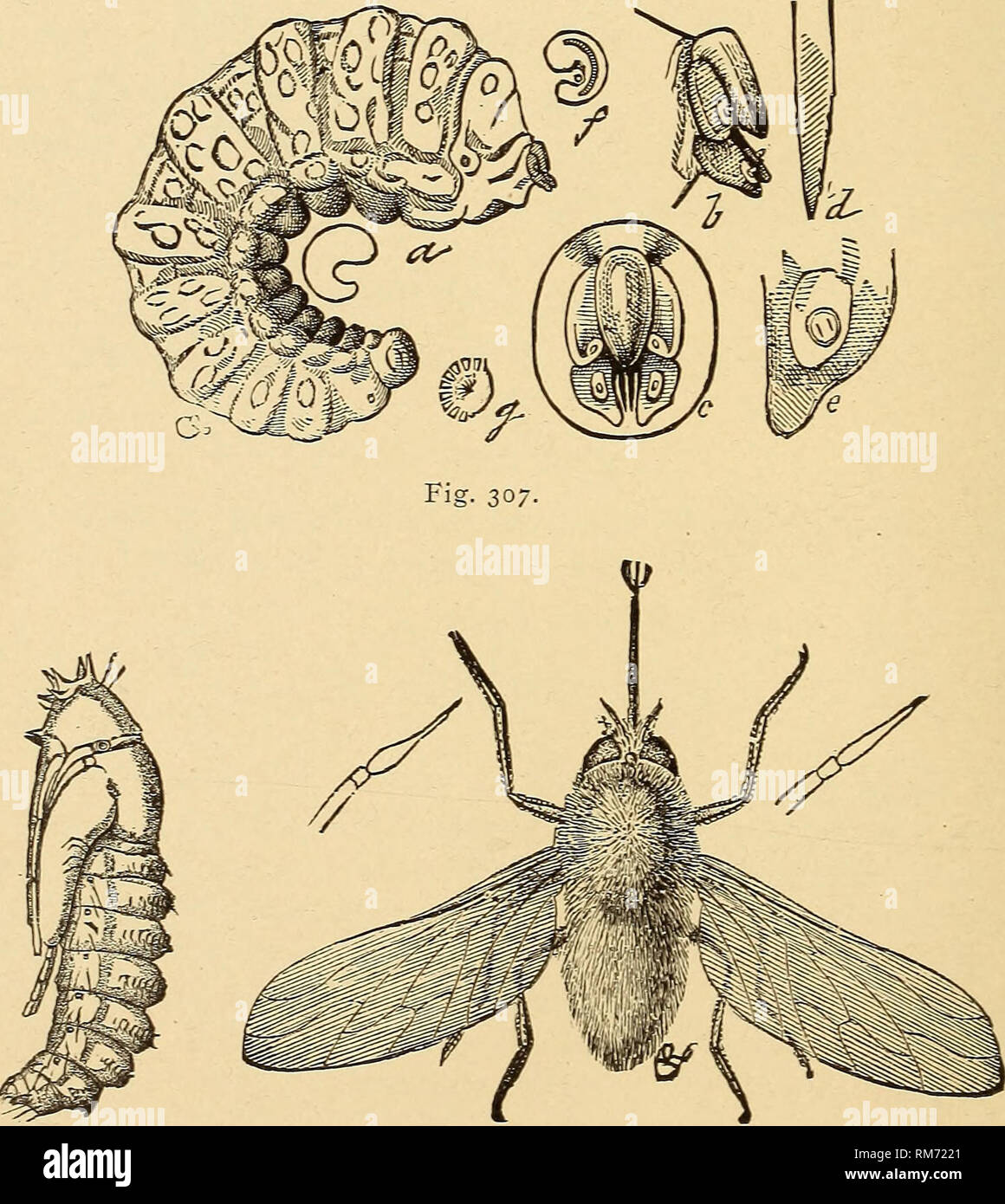 . Annual report, including a report of the insects of New Jersey, 1909. Fig- 30:. Fig. 306. Fig. 305.—Antlirax hippomelas: a, larva; b, fly pupa projecting from cut-worm pupa; c, pupa; d, adult: all enlarged. Fig. 306.—Bee-fly, SystcccJius oreas, parasitic on grasshopper egg-pods, pupa and adult. Fig. 307.—Larva of Systccclms orcas enlarged and details of structure.. Please note that these images are extracted from scanned page images that may have been digitally enhanced for readability - coloration and appearance of these illustrations may not perfectly resemble the original work.. New Jerse Stock Photo