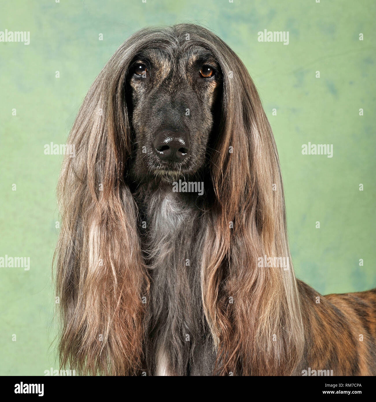 Afghan Hound Dog Stock Photos & Afghan Hound Dog Stock
