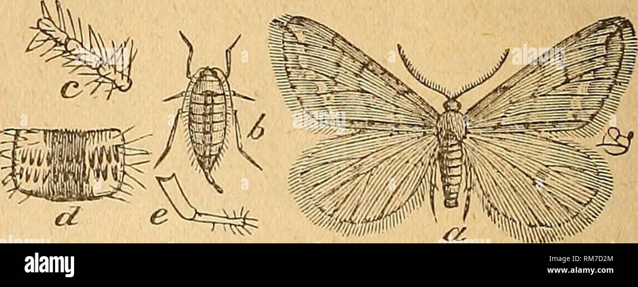 . Annual report of the Trustees of the State Museum of Natural History for the year ... Science; Museums. Fig. 56. — Larva and eggs of the spring canker-worm — Anis- OPTEEYX VEENATA. (After Eiley.) Fig. 57.—Male and female moths and en- largements of Anisopteeyx teenata. (After Eiley.) moth and h the wingless female, each in natural size; c, enlargement of portion of female antennae; d, joint of female abdomen, enlarged; e, its ovipositor, enlarged. * Tinea pellionella Linn.— This notorious pest — the common clothes-moth, carpet-moth, fur-moth (different names for the same insect), etc., was f Stock Photo