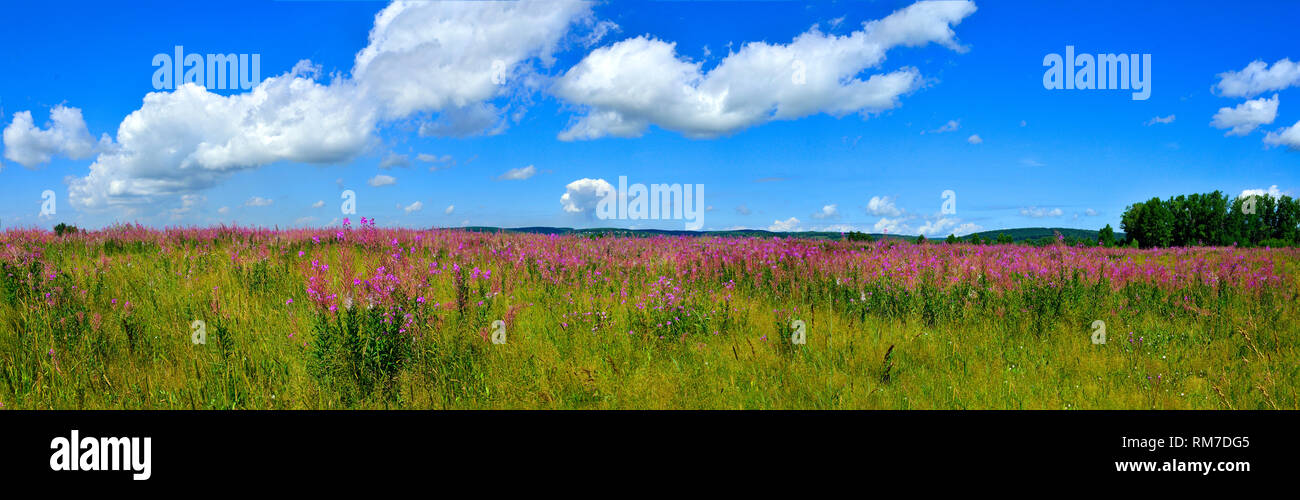 Panoramic view of bright summer meadow with blooming Fireweed or Chamaenerion angostifolium - medicinal herb on the top of hill at bright summer day w Stock Photo