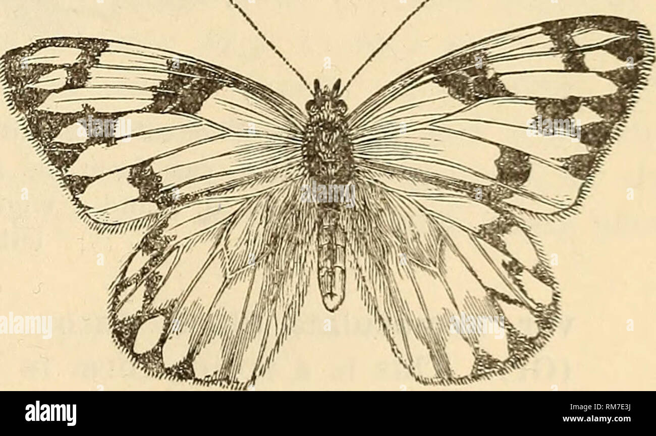 ". Annual report, including a report of the insects of New Jersey, 1909. THE INSECTS OE NEW JERSEY. 417 Family PIERID-^. This family includes the ""cabbage butterflies,"" and among them are the most serious pests of this series. The butterflies are white or yellow, of good size, the wings generally more or less black-bordered and with black discal spots. The fore tarsi are complete in both sexes, hence these, in common with the following families, are six-footed butterflies. The chrysalis is angulated and.girthed at its middle as well as fastened at the tail. The caterpillars are cylind - Stock Image"