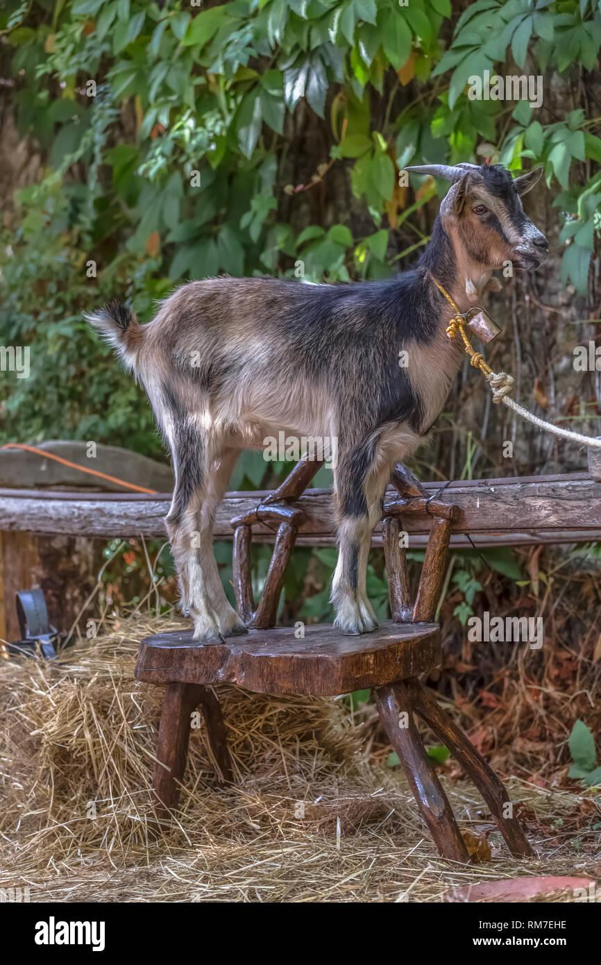 Goat Display Stock Photos & Goat Display Stock Images - Alamy
