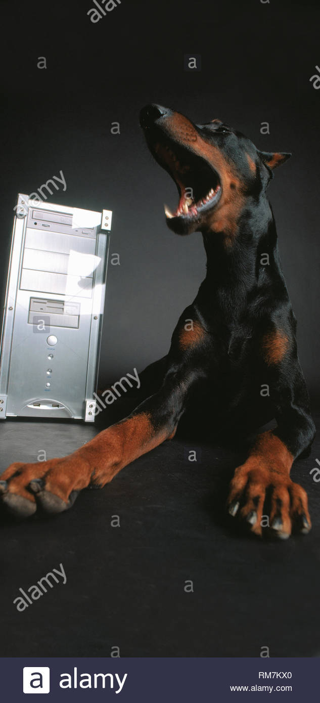 Stunning dog doberman panorama - Stock Image