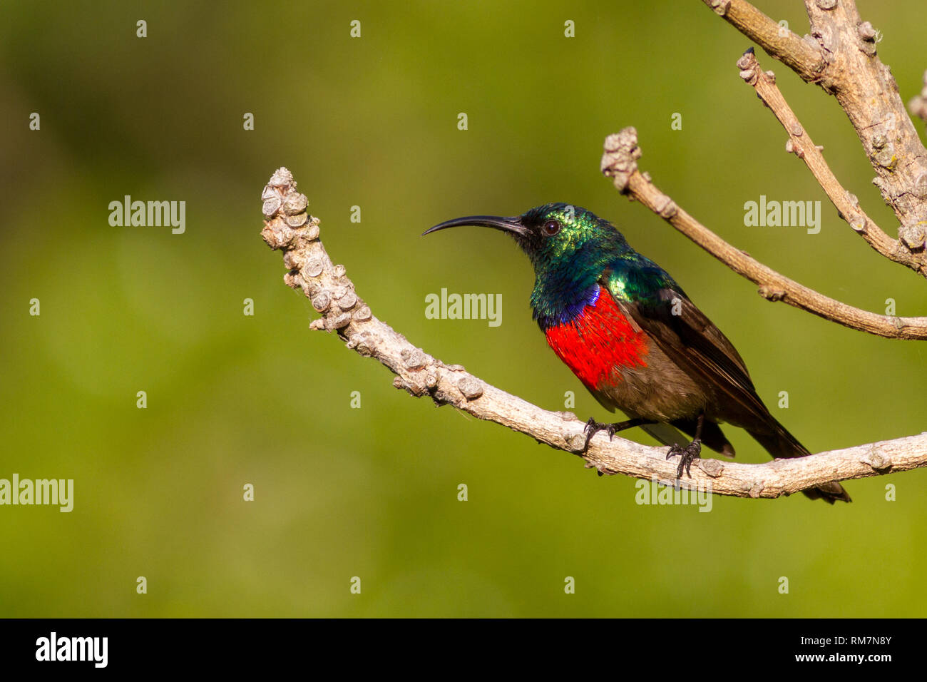 Greater double-collared sunbird (Cinnyris afra) side profile, perched in a tree, South Africa - Stock Image