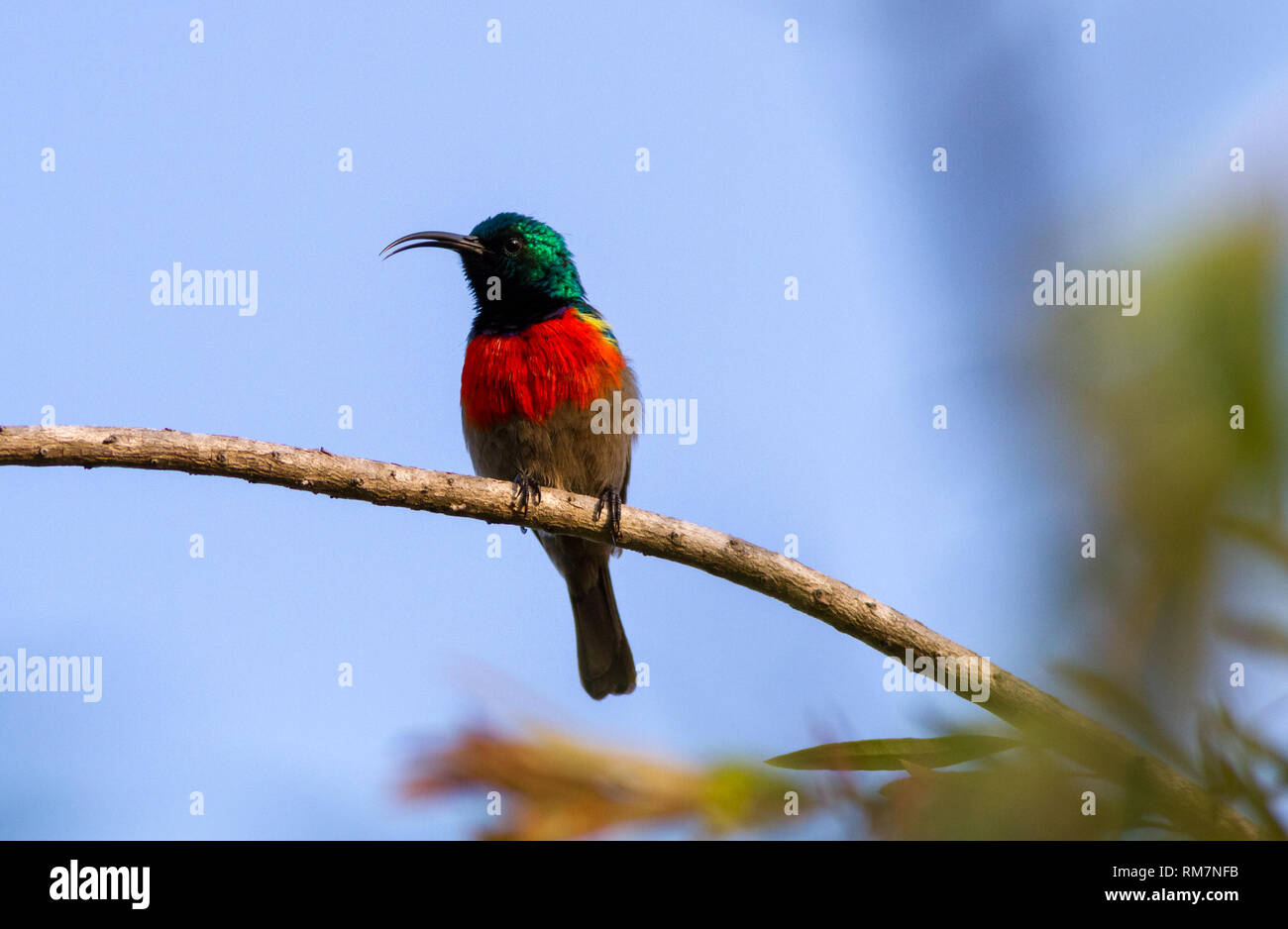 Greater double-collared sunbird (Cinnyris afra) from the front profile, perched in a tree singing, South Africa - Stock Image