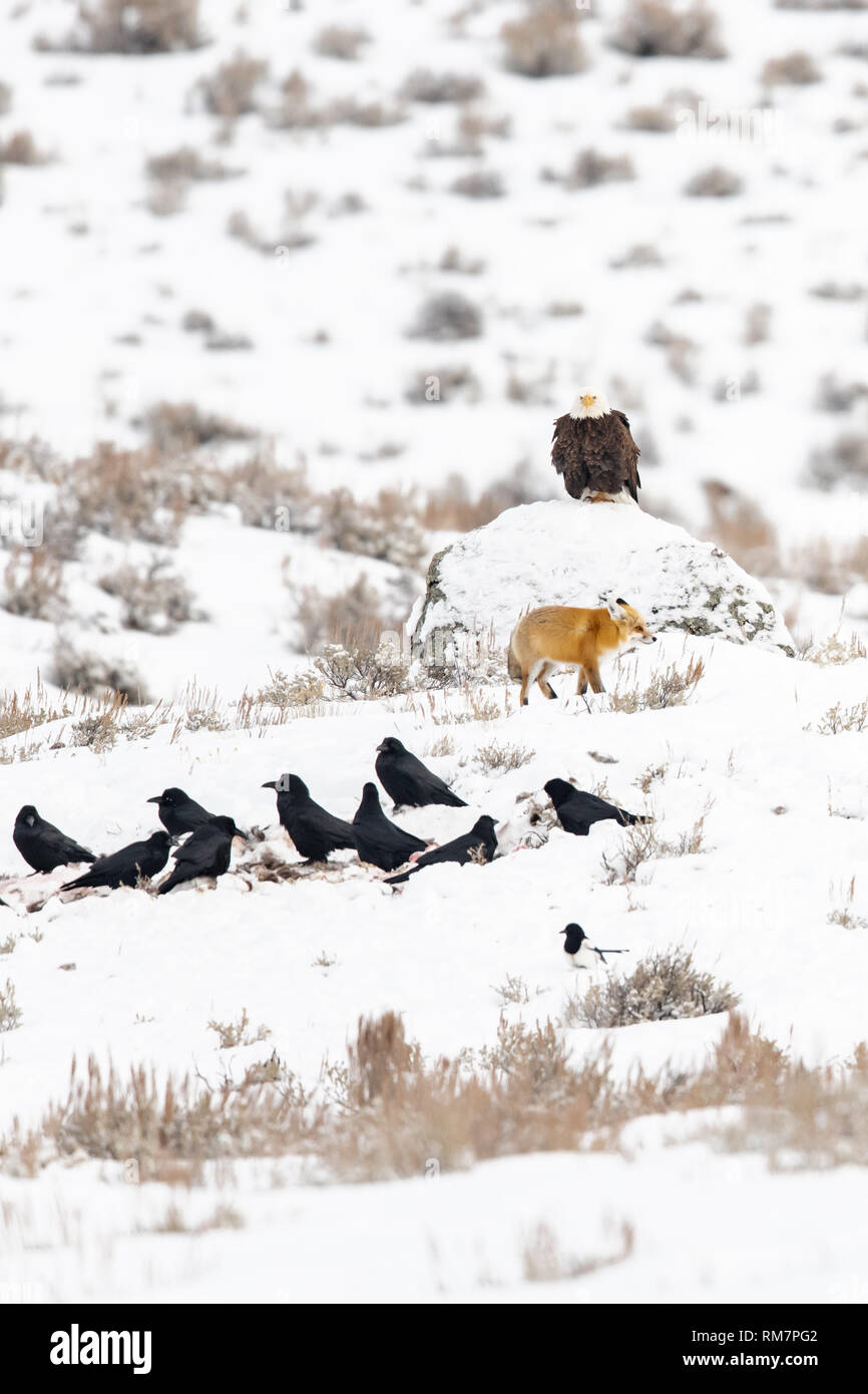 A hierarchical assortment of scavengers line up for their turn on a dead carcass in Yellowstone during the winter - Stock Image