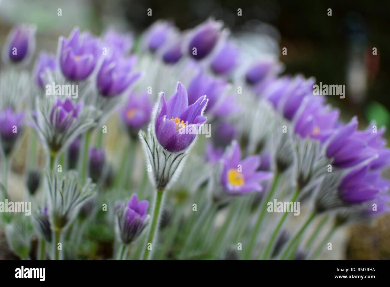 'Pulsatilla patens' - Prairie Crocus. Violet flowers close up. - Stock Image