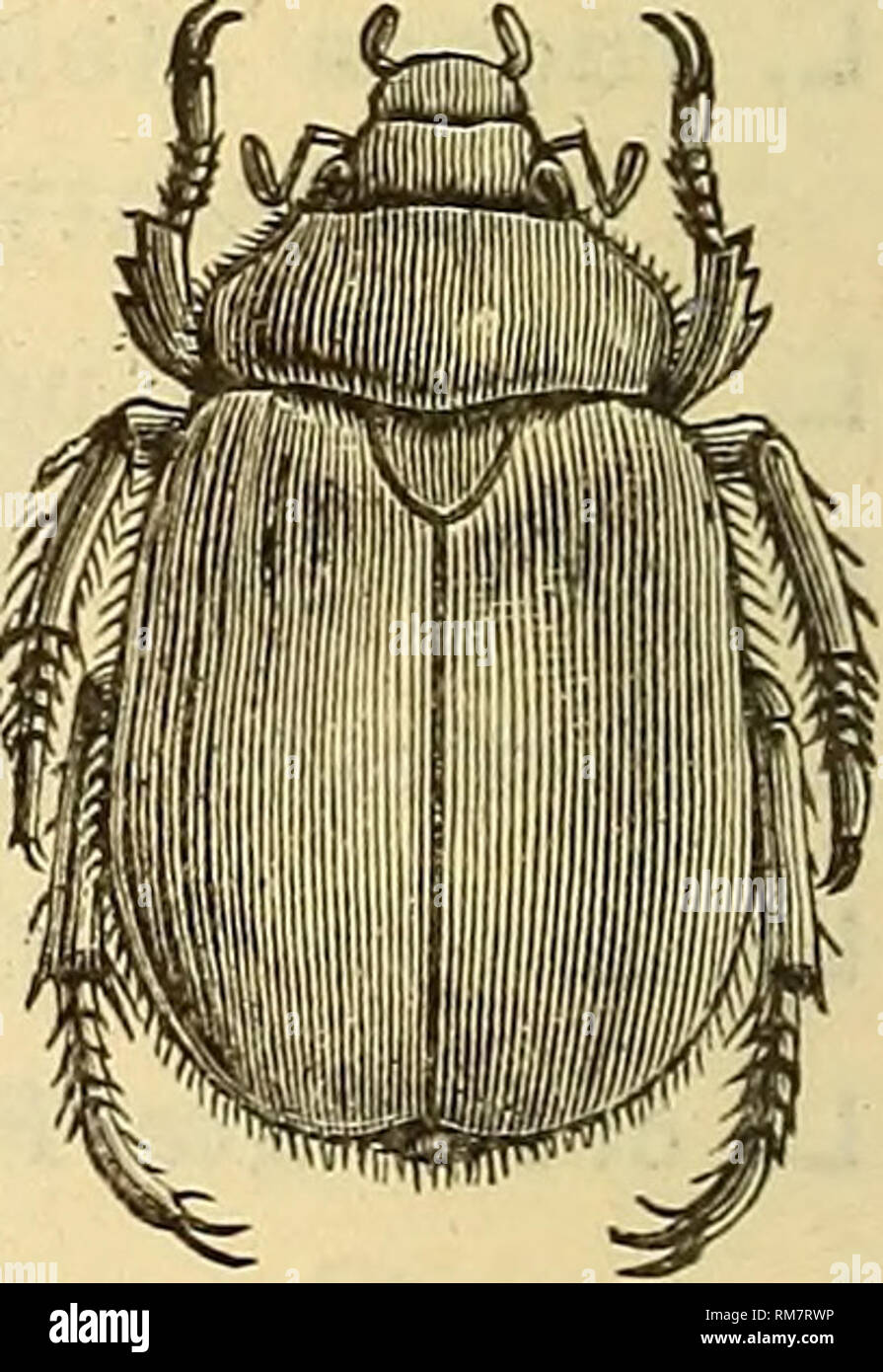 """. Annual report, including a report of the insects of New Jersey, 1909. 320 REPORT OF NEW JERSEY STATE MUSEUM. ANOMALA Koeppe. A. binotata Gyll. Throughout the Delaware Valley, the pine barrens and maritime regions III-V, locally not rare. A. innuba Fab. (minuta Burm.) Anglesea (div). A. undulata Mels. Throughout the State IV, VI, locally not rare. A. lucicola Fab. Throughout the State, common on grape and """"Ampe- lopsis"""" VI, VII; the most abundant form of the genus, and quite variable. A. obiivia Horn. Pine barrens V-VII, locally not rare; extending into the maritime and a little int Stock Photo"""