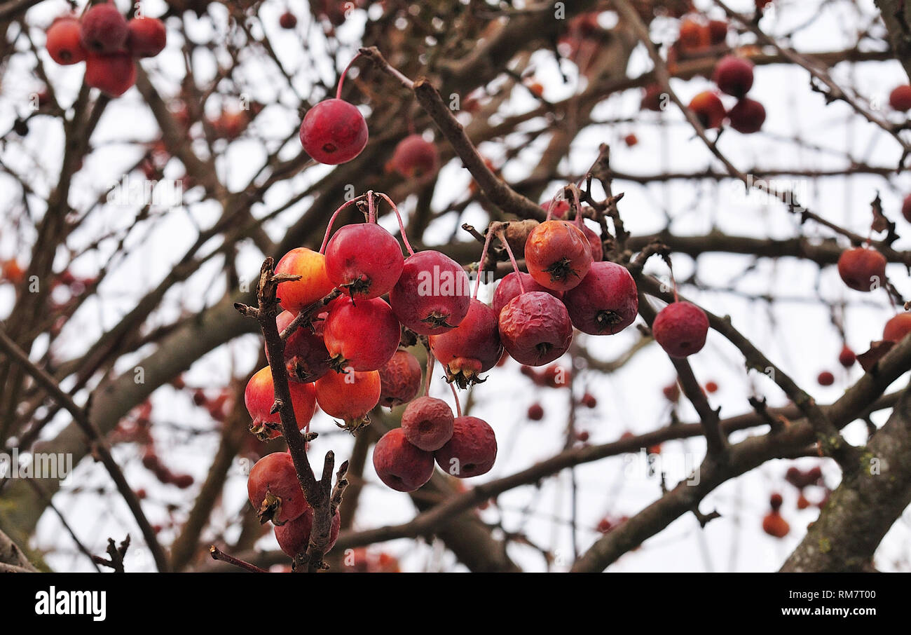 Close Up Of Branch Of A Crab Apple Tree With Small Red Fruits In