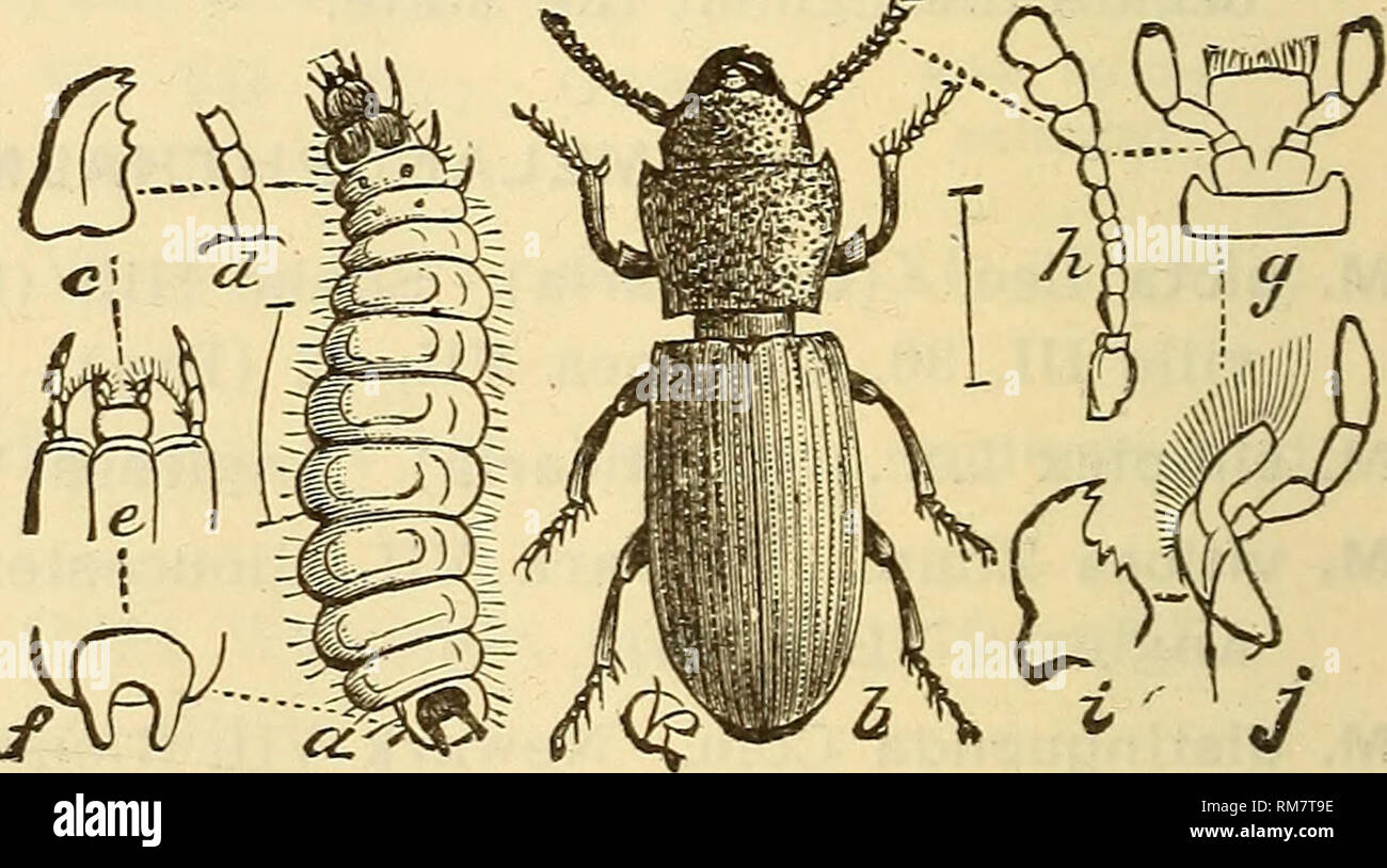 . Annual report, including a report of the insects of New Jersey, 1909. 276 REPORT OF NEW JERvSEY STATE MUSEUM. Family TROGOSITIDtE. Usually oblong, flat species, the prothorax as wide as the thorax and often well separated from it. Generally they live under bark, but a few live in granaries, where they sometimes become rather numerous, and more rarely specimens are found on fungus. Some of them are predatory or semi-parasitic in the larval stage, and very few are at all injurious. THYMALUS Duft. T. fulgidus Er. Throughout the State V, VI. Looks like a bronze lady- bird beetle and is usually f Stock Photo