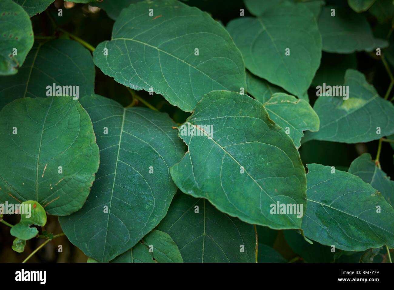 Fallopia vine plant - Stock Image