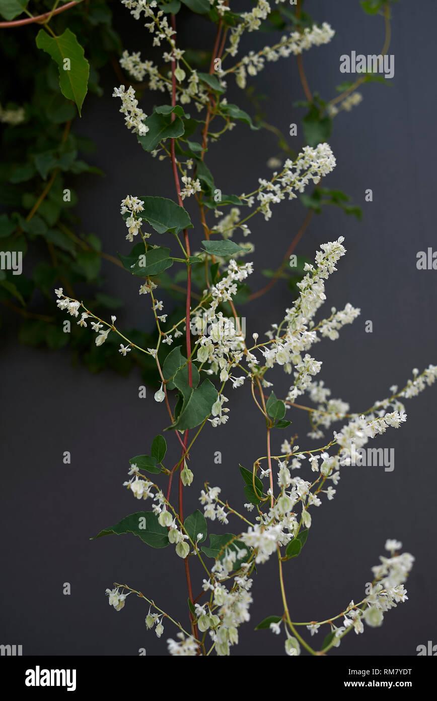 Fallopia baldschuanica white blossom - Stock Image