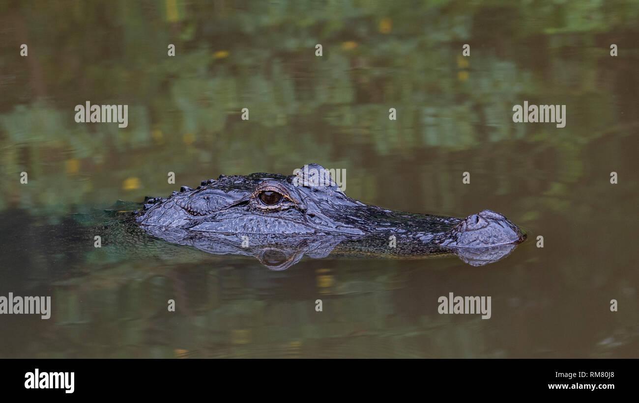 American Alligator in wild - Stock Image