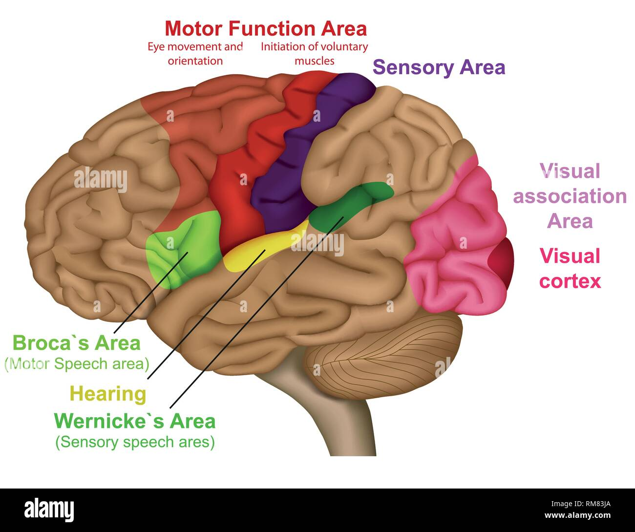 Functional brain areas medical vector illustration on white background - Stock Image
