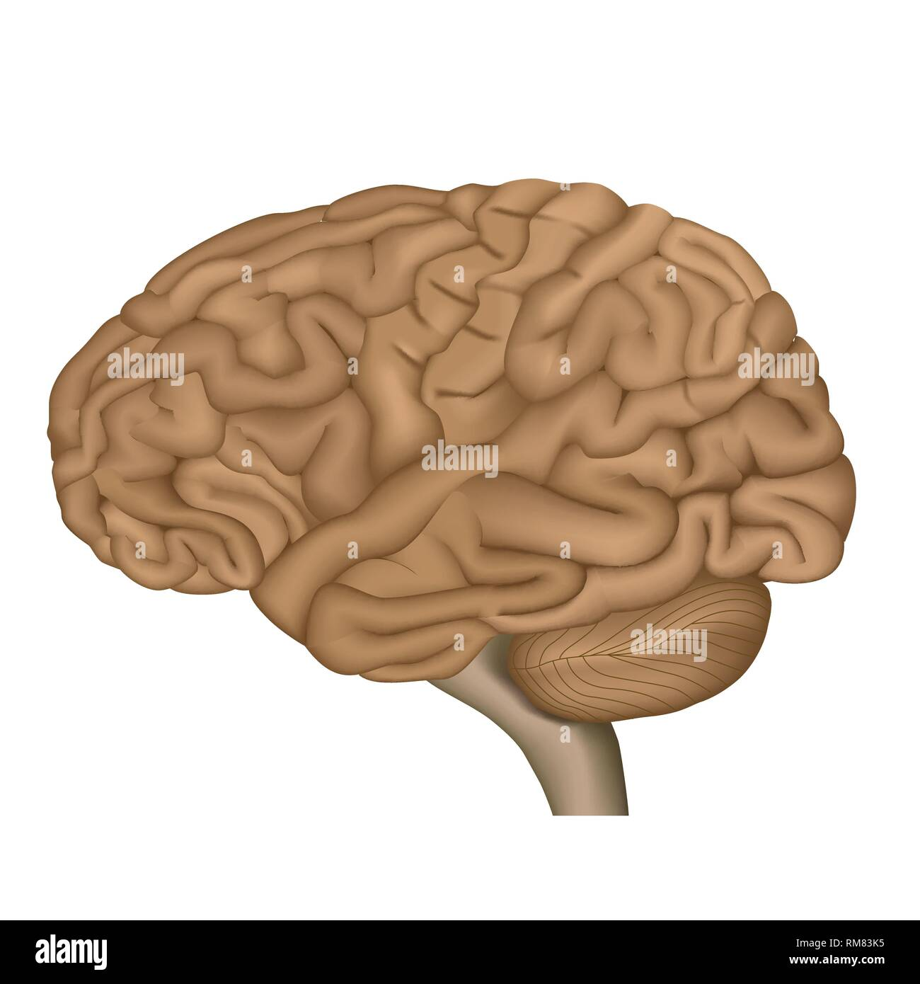 Human Brain Anatomy 3d Illustration On White Background Manual Guide