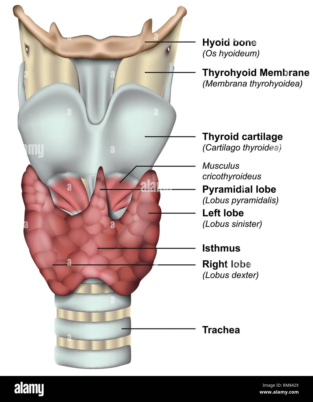 Anatomy Of The Thyroid Gland Medical 3d Vector Illustration Stock