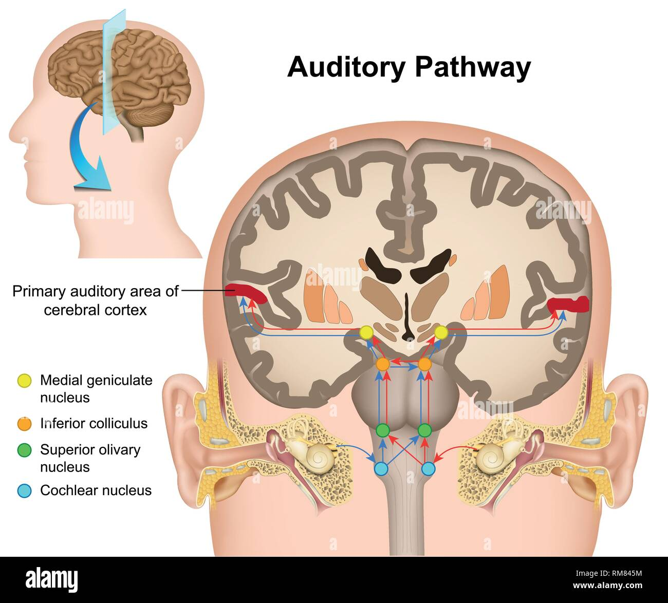 The auditory pathway medical vector illustration on white background - Stock Image