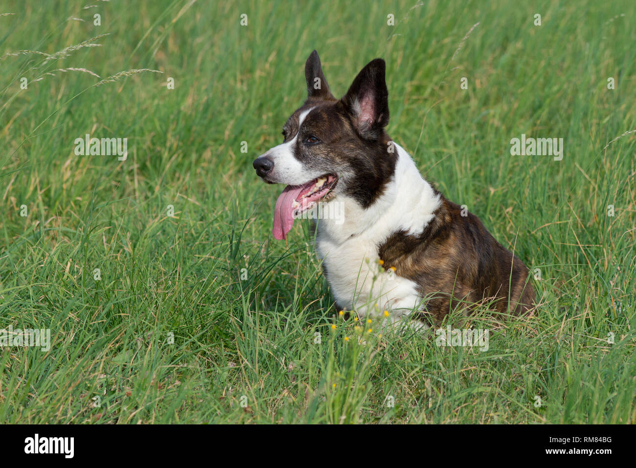 Male Brindle Welsh Corgi Cardigan in a grass - Stock Image
