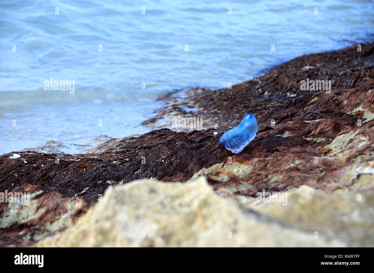 Atlantic Portuguese man-of-war (Physalia physalis) jellyfish-like marine hydrozoan with poisonous tentacles washed out on shore of Caribbean island. - Stock Image