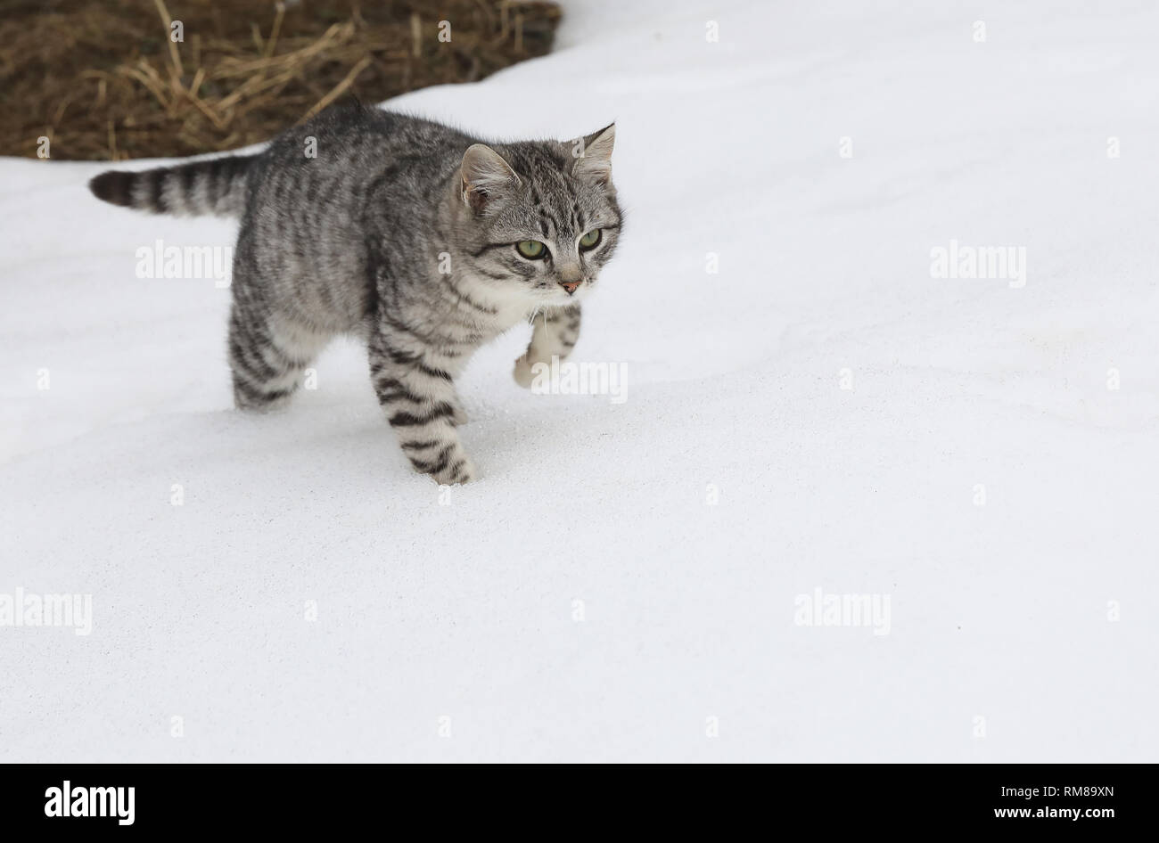 Cute cats in the snow in winter - Stock Image