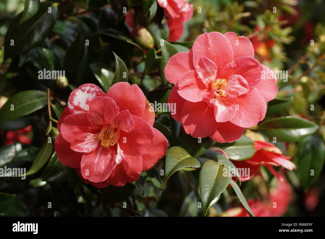 Camellia Japonica Roger Hall cultivar camellia japonica stock photos & cultivar camellia