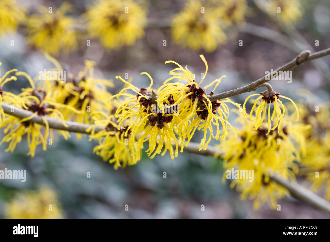 Hamamelis x intermedia 'Barmstedt Gold'. Witch hazel flowers. - Stock Image