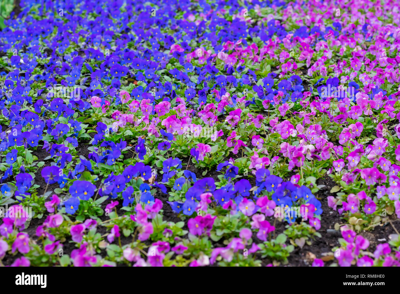 Bright picturesque flowerbed, violet and pink flowers pansy on a sunny day. Natural scenic background Stock Photo