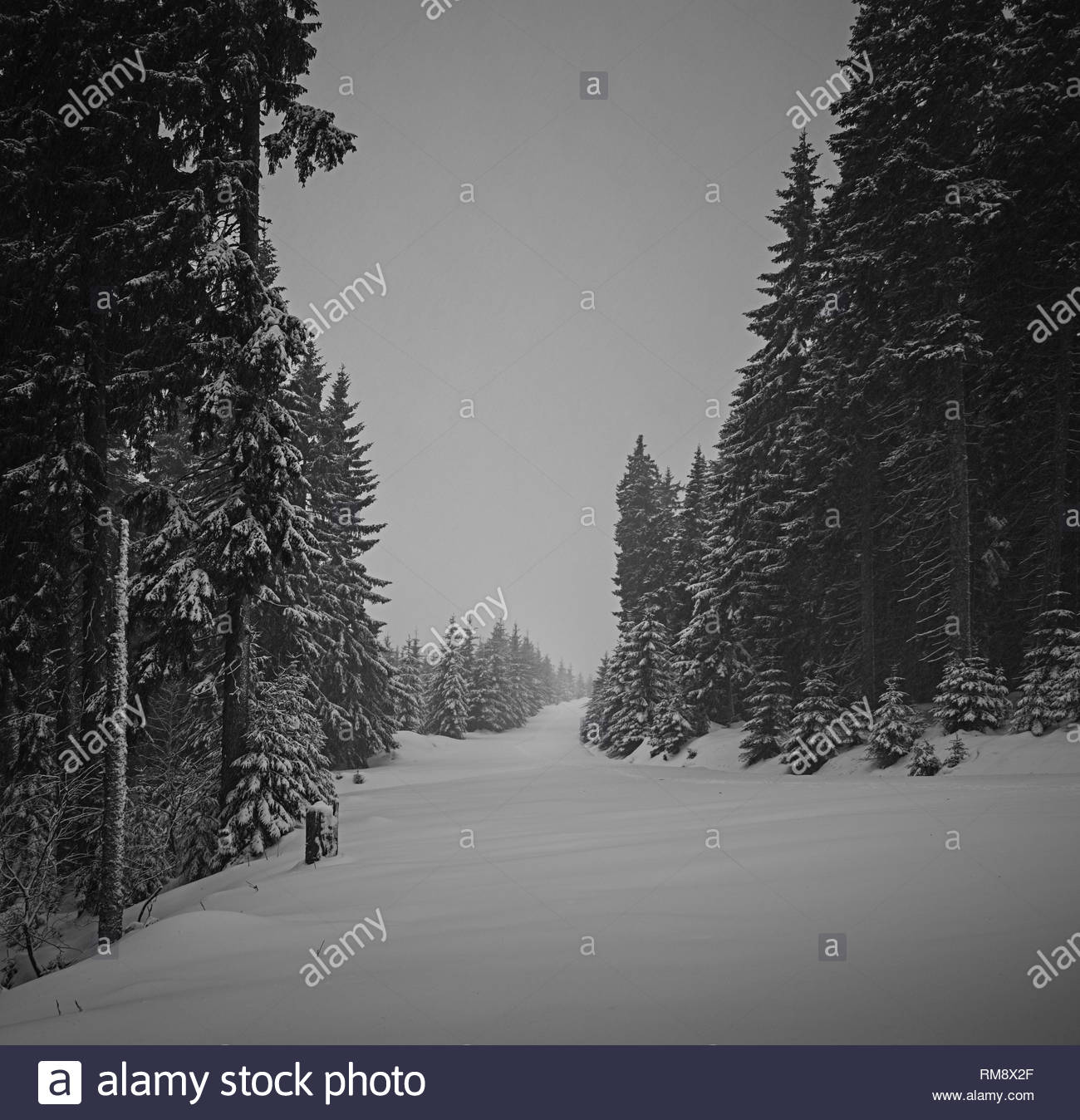 snowy woods - Stock Image